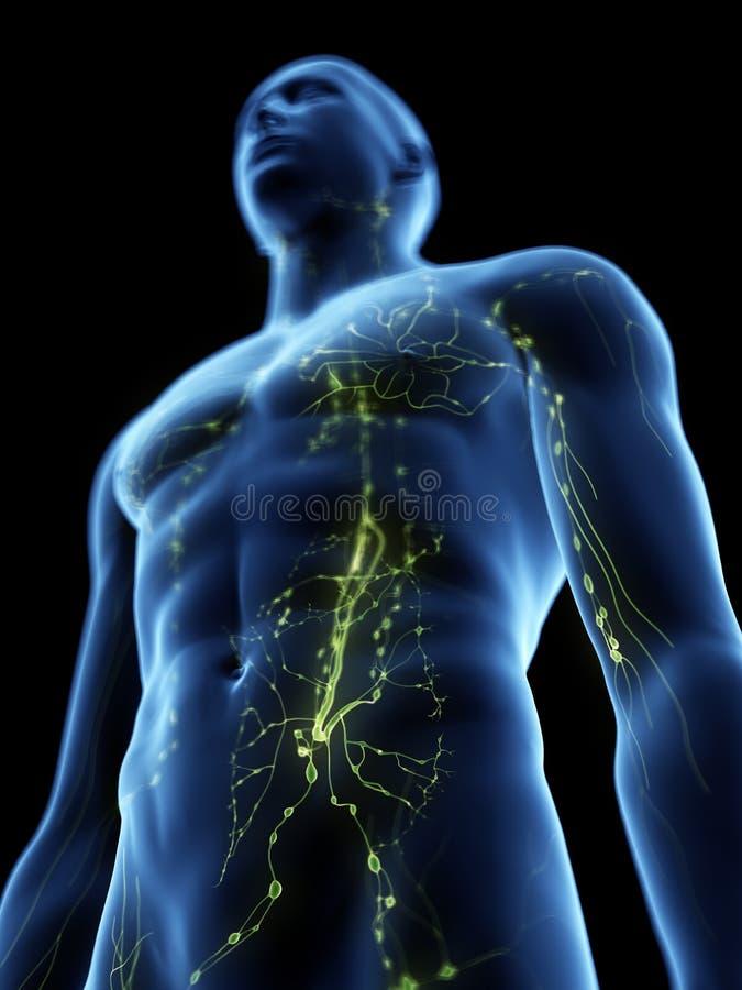 Sistema linfático humano ilustración del vector