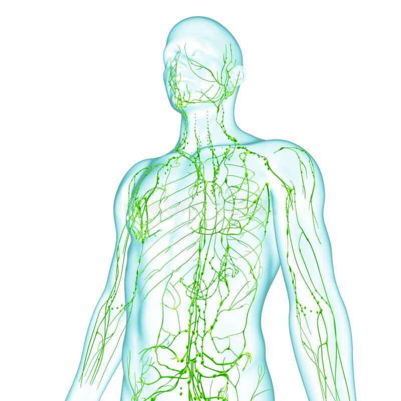 Sistema linfático masculino ilustración del vector