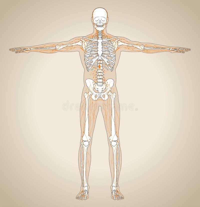 Sistema linfático (masculino) humano ilustración del vector