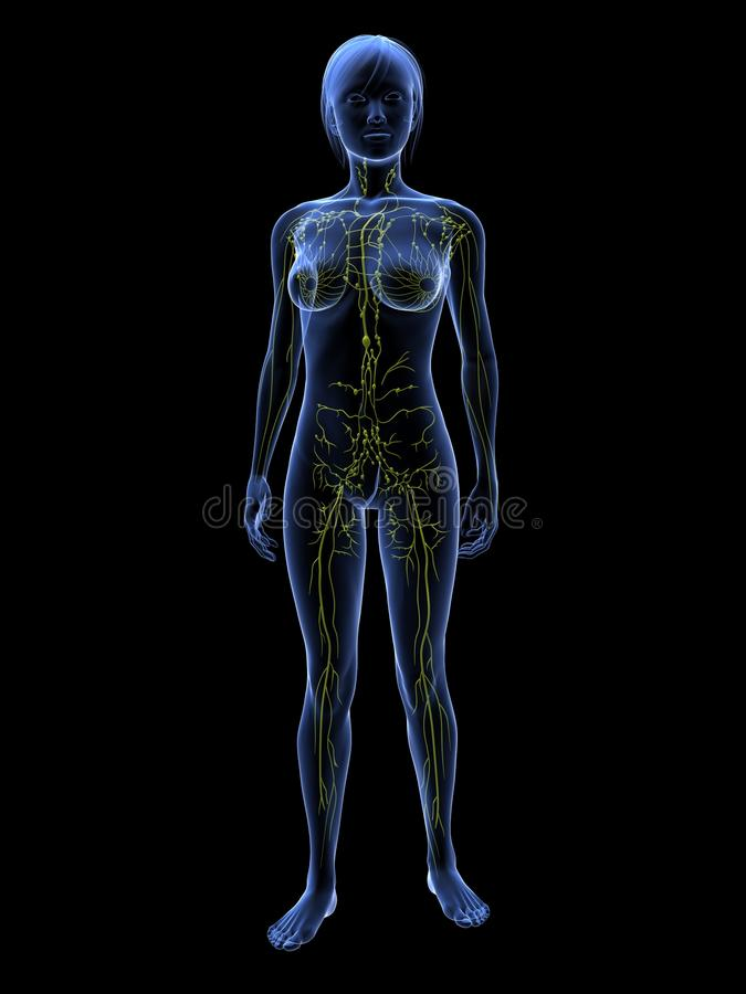 Sistema linfatico femminile illustrazione di stock