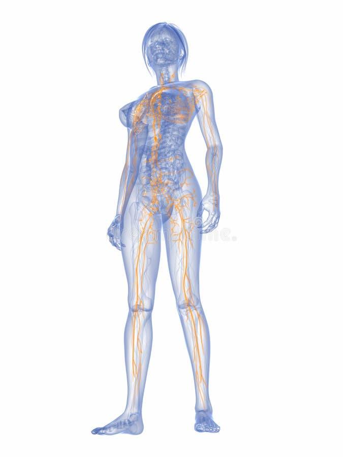 Sistema linfatico femminile illustrazione vettoriale