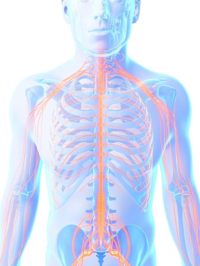 Sistema masculino do nervo ilustração royalty free
