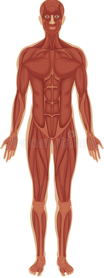 Sistema muscolare royalty illustrazione gratis
