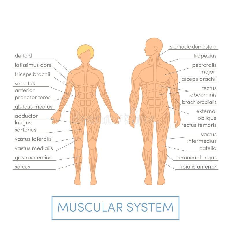 Sistema muscolare umano illustrazione vettoriale