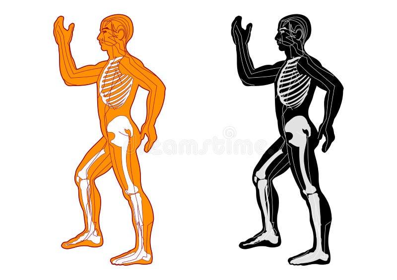 Sistema muscular imagem de stock royalty free
