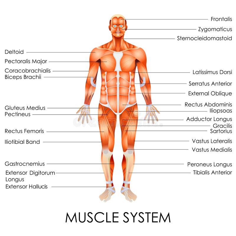 Sistema muscular ilustración del vector. Ilustración de ciencia ...