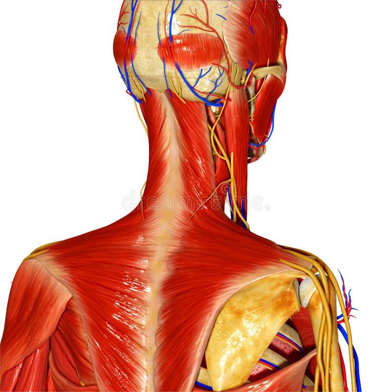 Sistema muscular ilustração royalty free