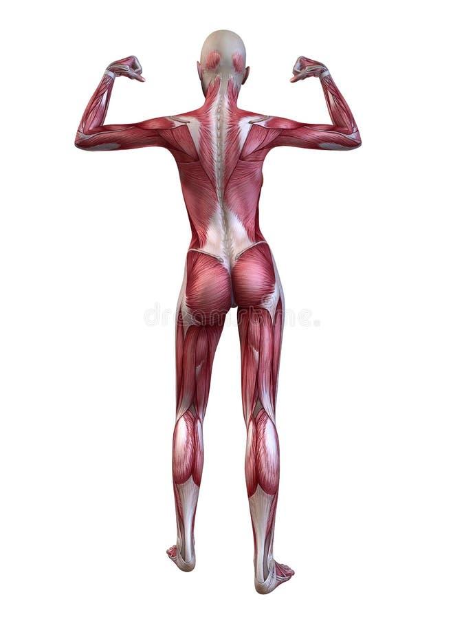 Sistema muscular fêmea ilustração do vetor