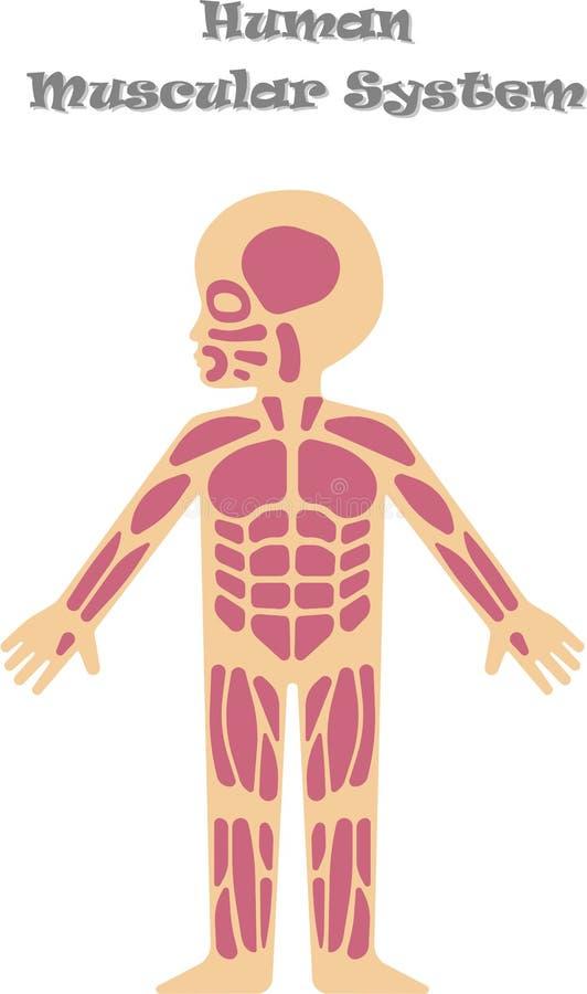 Sistema Muscular Humano Para Los Niños Ilustración del Vector ...