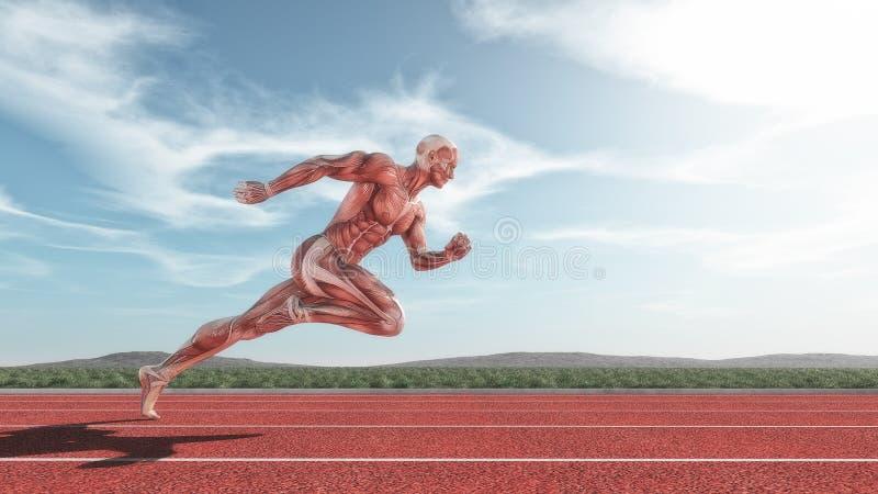 Sistema muscular masculino ilustración del vector