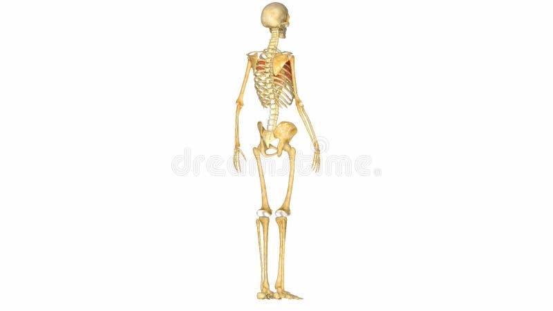 Sistema Musculoesquelético Humano Metrajes - Vídeo de muscular ...