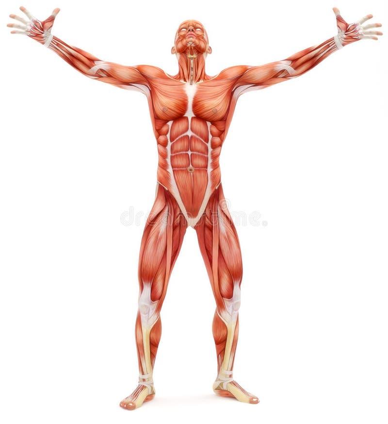 Sistema Musculoesquelético Masculino Que Mira Hacia Arriba Stock de ...