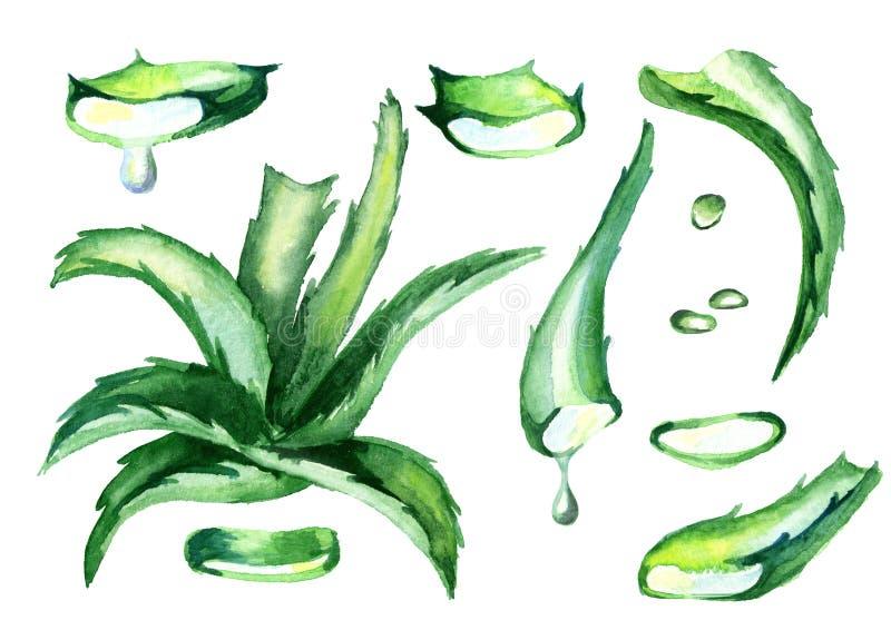 Sistema natural de Vera del áloe Ejemplo dibujado mano de la acuarela stock de ilustración