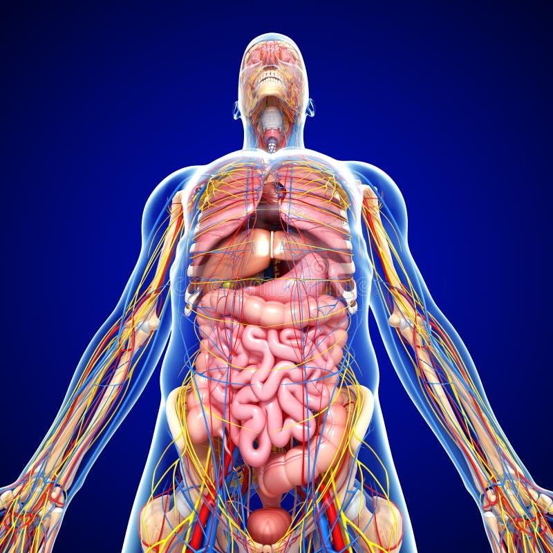 Sistema Nervioso Con La Circulación En Cuerpo Humano Stock de ...