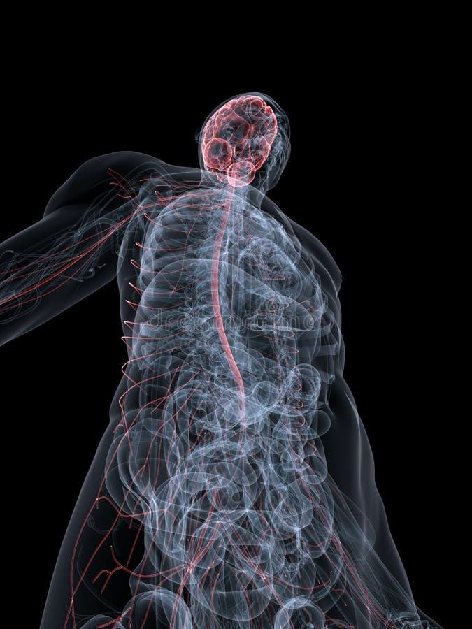 Sistema nervioso de Highglighted ilustración del vector