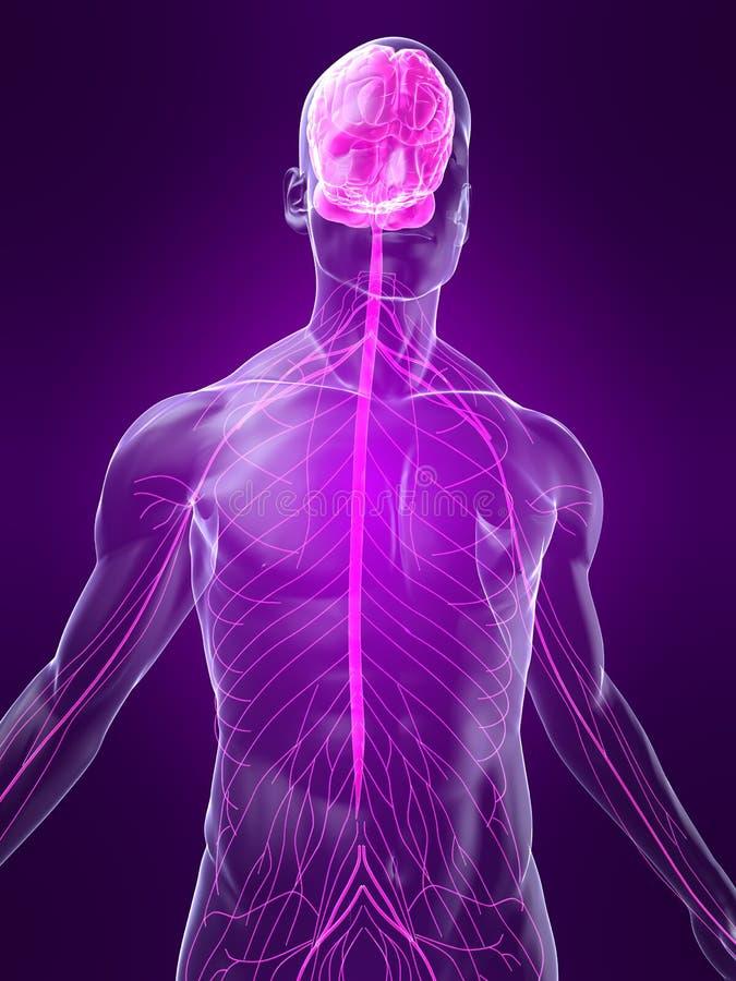 Sistema nervioso destacado ilustración del vector