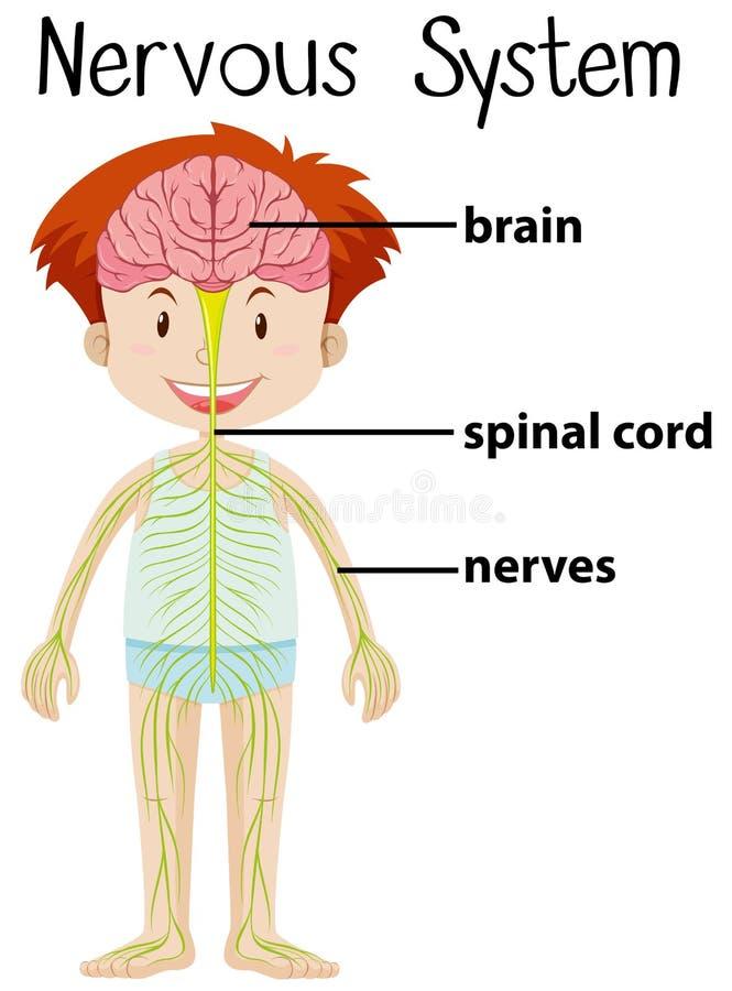 Sistema Nervioso En Cuerpo Humano Ilustración del Vector ...