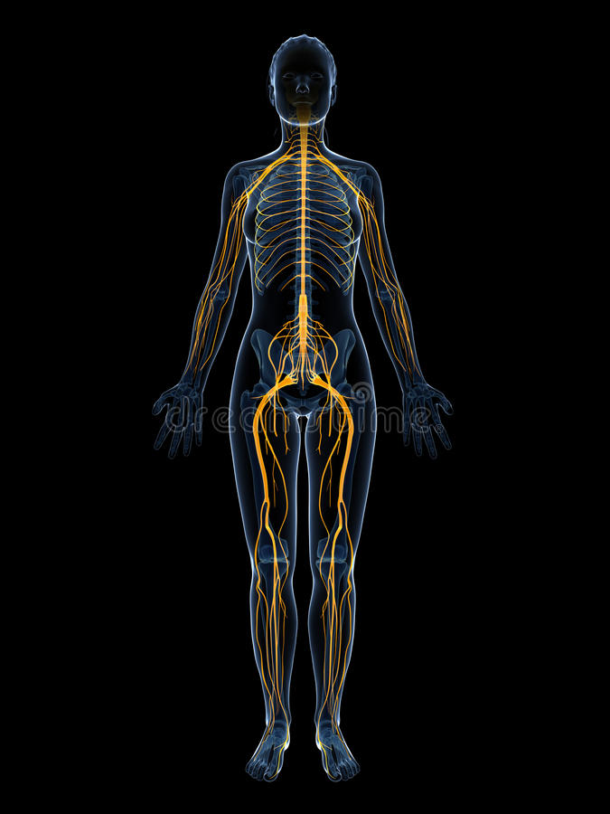 Sistema nervioso femenino stock de ilustración. Ilustración de ...