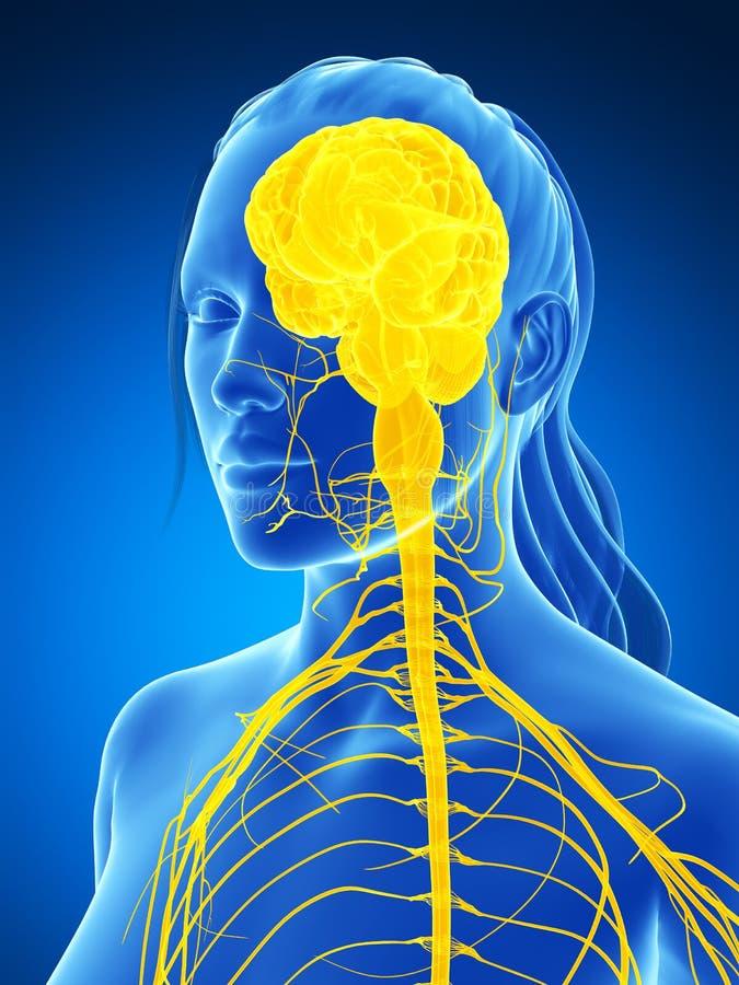 Sistema nervioso femenino ilustración del vector