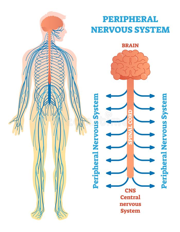 Sistema nervioso periférico, diagrama médico del ejemplo del vector con el cerebro, médula espinal y nervios ilustración del vector