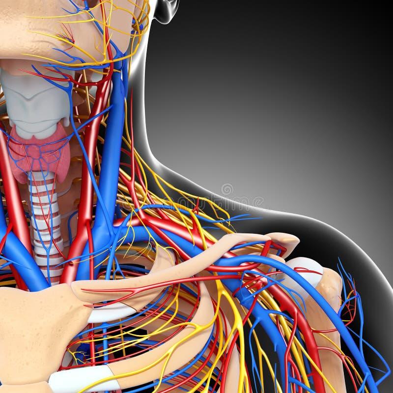 Sistema nervioso y circulatorio de la garganta masculina stock de ilustración