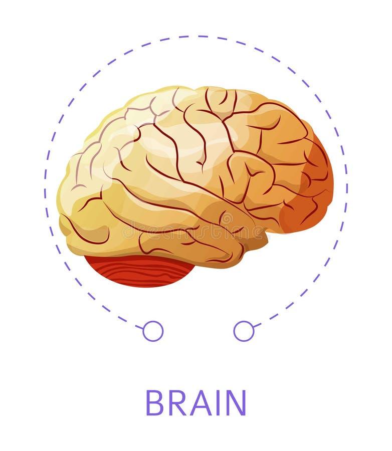 Sistema nervious aislado del icono del órgano interno del cerebro ilustración del vector