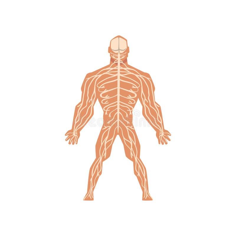 Sistema nervoso biológico humano, anatomia da ilustração do vetor do corpo humano em um fundo branco ilustração royalty free