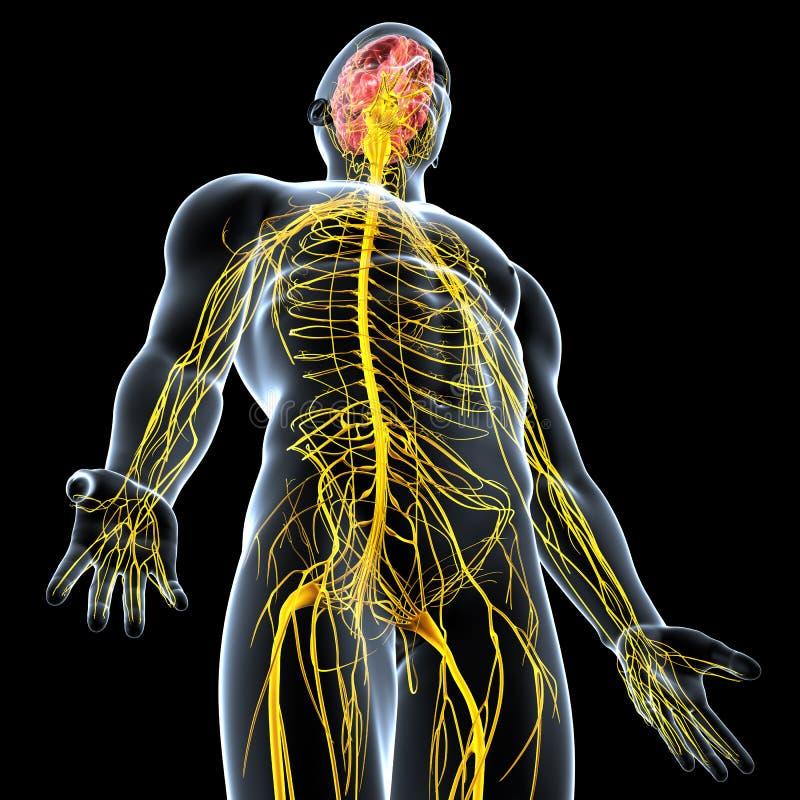 sistema nervoso de homem ilustração do vetor