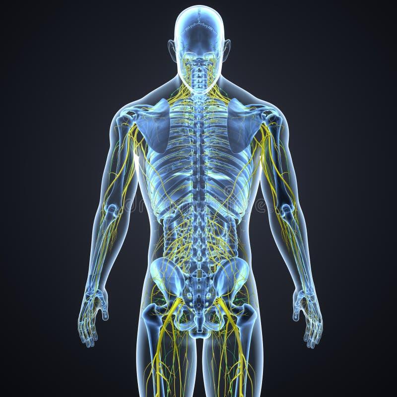 Sistema nervoso e nós de linfa com opinião de esqueleto do traseiro do corpo ilustração do vetor