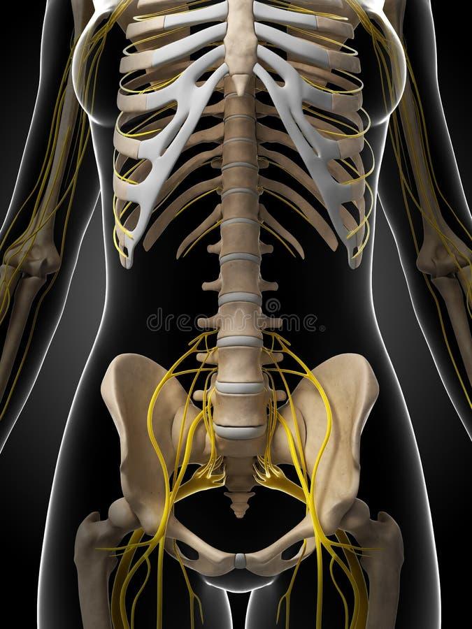 Sistema nervoso fêmea ilustração stock