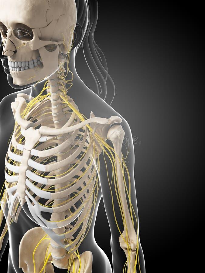 Sistema nervoso fêmea ilustração do vetor