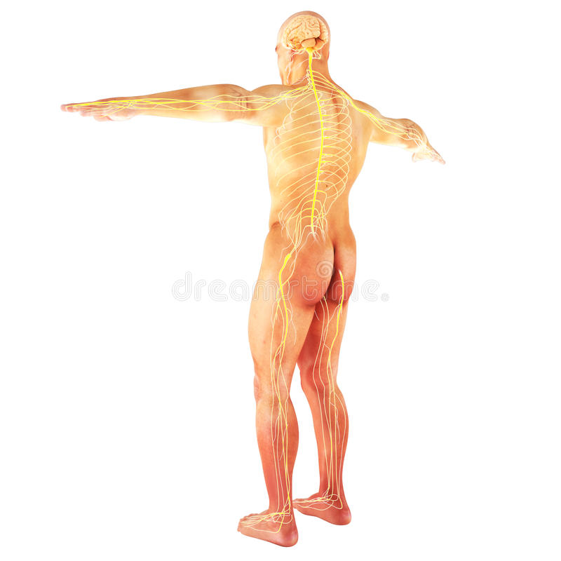 Sistema nervoso humano masculino fotografia de stock royalty free