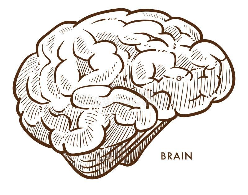 Sistema nervoso isolado do esboço do cérebro órgão cerebral interno ilustração do vetor