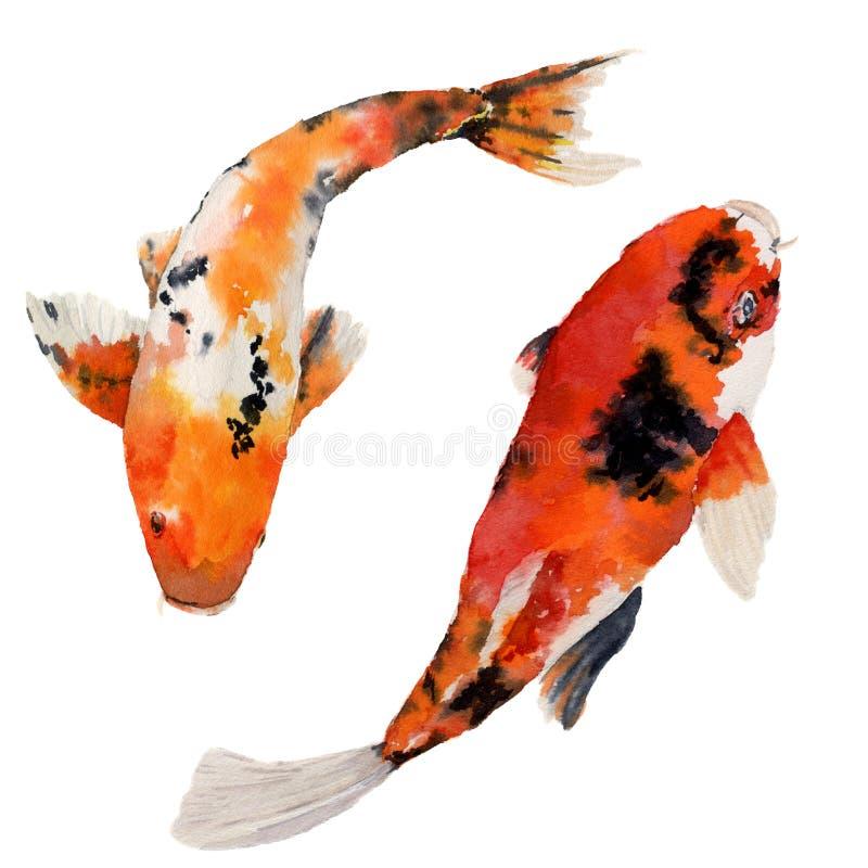 Sistema oriental de la carpa del arco iris de la acuarela Pescados de Koi aislados en el fondo blanco Ejemplo subacuático para el libre illustration