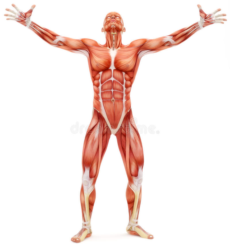 Sistema osteomuscular masculino que olha para cima ilustração do vetor