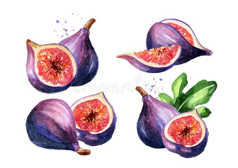 Sistema púrpura maduro fresco de la fruta del higo Ejemplo dibujado mano de la acuarela, aislado en el fondo blanco fotos de archivo libres de regalías