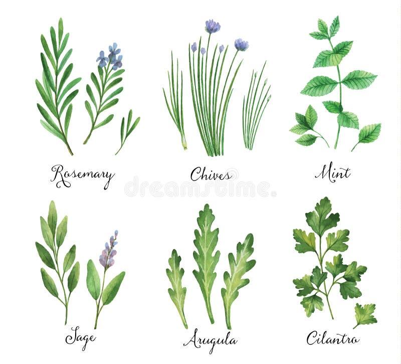 Sistema pintado a mano del vector de la acuarela con las hierbas y las especias salvajes ilustración del vector