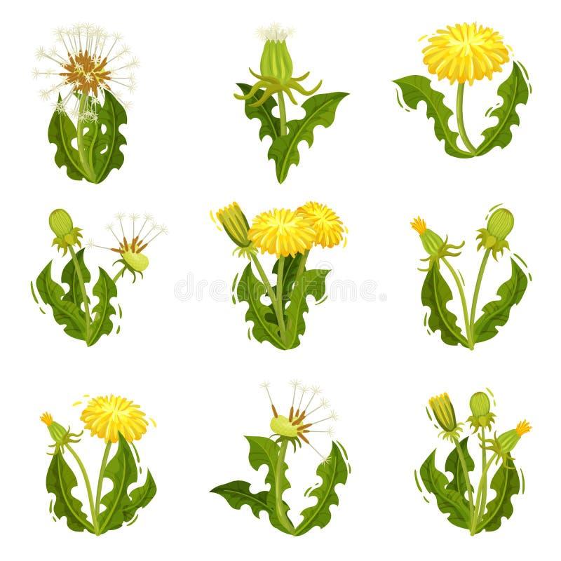 Sistema plano del vector de dientes de león Manada salvaje con las semillas mullidas Planta del verano con las flores amarillas b ilustración del vector