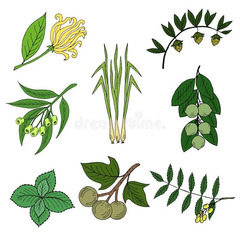 Sistema, plantas de aceite esencial en el color 1 ilustración del vector