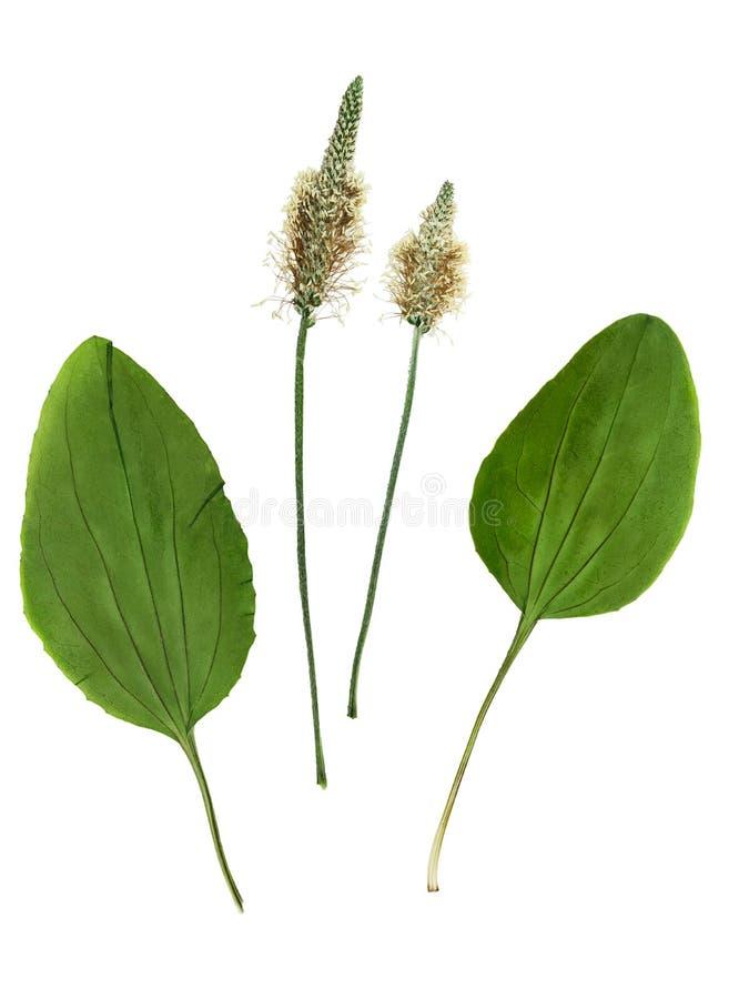 Sistema presionado y secado de flores y del plantago de las hojas imágenes de archivo libres de regalías