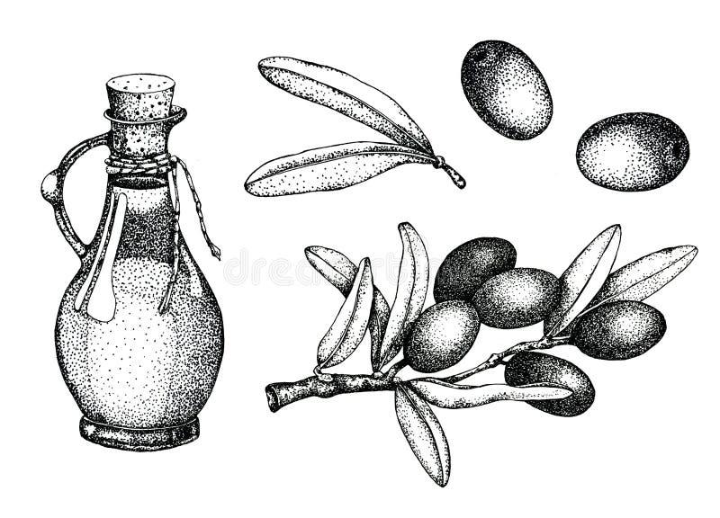 Sistema realista del ejemplo de la rama de aceitunas negras y verdes aislada en fondo verde Diseño para el aceite de oliva, cosmé libre illustration