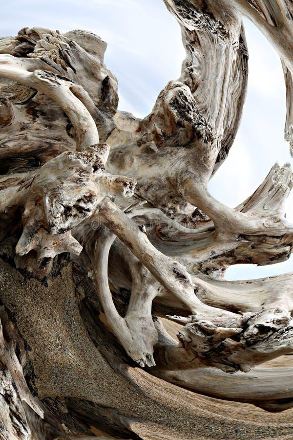 Sistema remolinado de la raíz de tronco de árbol erosionado resistido lavado para arriba en la playa imagen de archivo