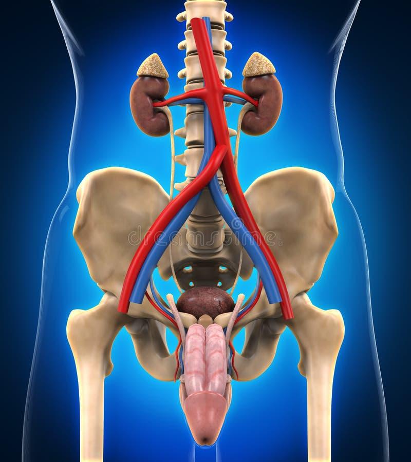 Sistema renal urinario stock de ilustración. Ilustración de hombre ...