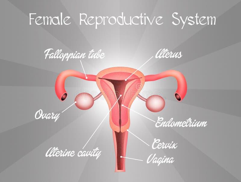 Sistema reproductivo femenino stock de ilustración