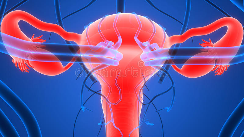 Sistema reproductivo femenino con el sistema nervioso y la vejiga urinaria ilustración del vector