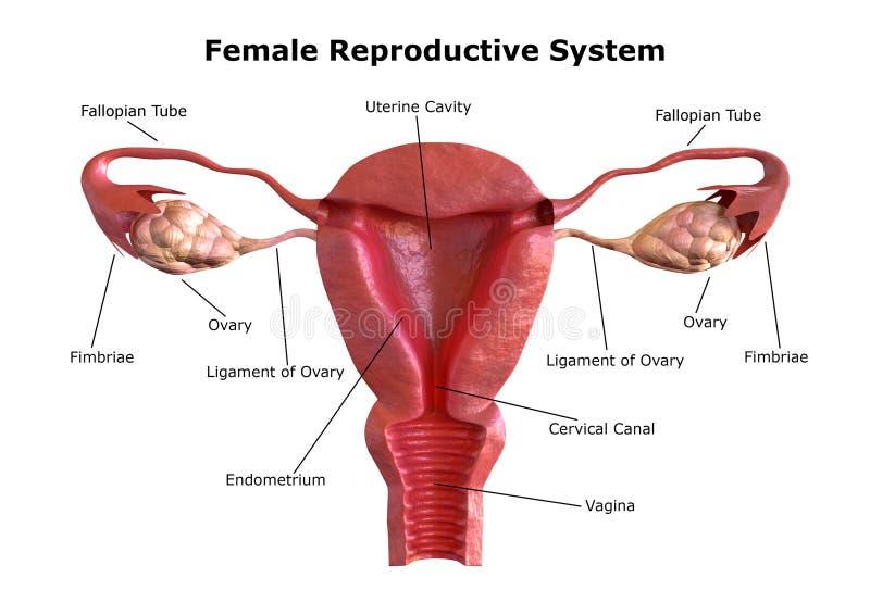 Sistema reproductivo femenino Vista interna del útero con el corte transversal stock de ilustración
