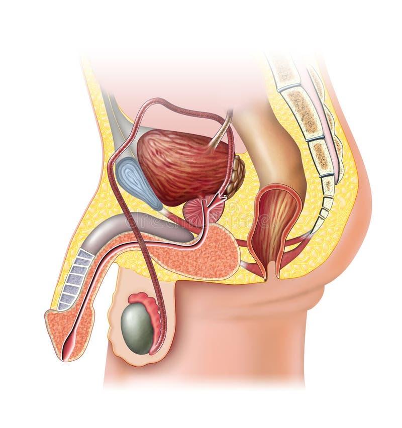 Sistema reproductivo masculino ilustración del vector