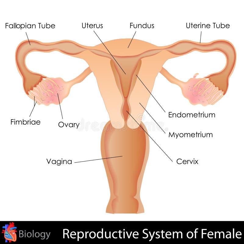 Sistema reprodutivo fêmea ilustração royalty free