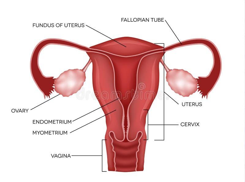 Sistema reprodutivo fêmea ilustração stock
