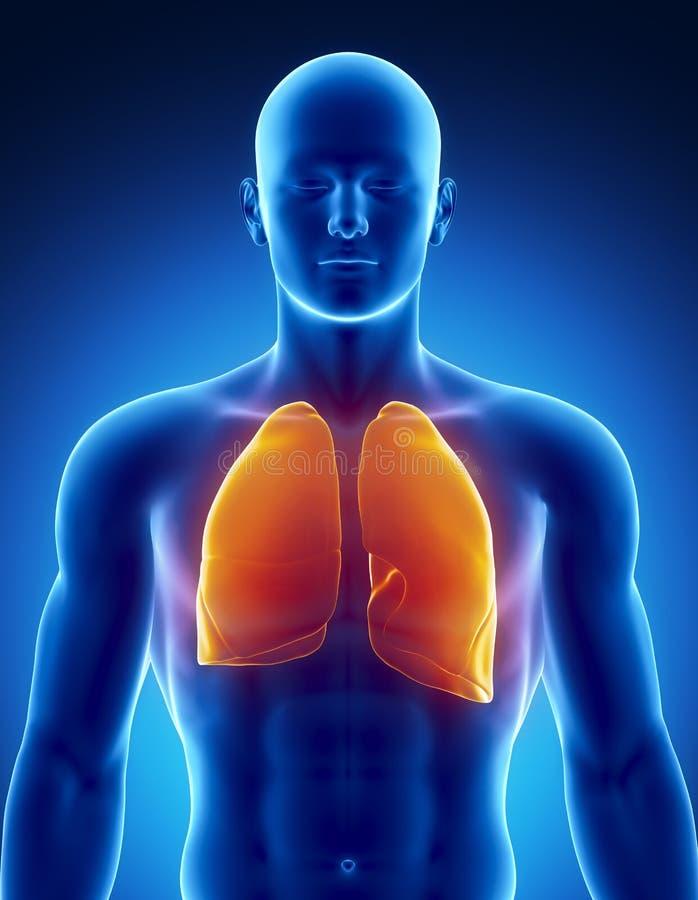 Sistema respiratório humano com pulmões ilustração royalty free